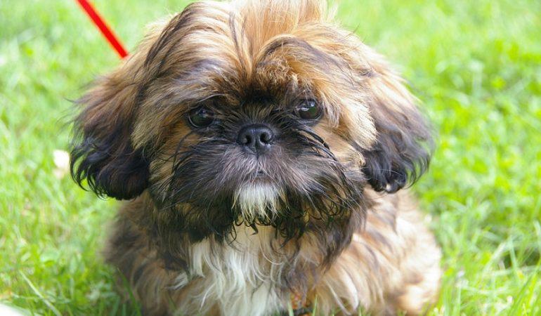 Shih Tzu Dog Breed Info – The Best Lap Dog