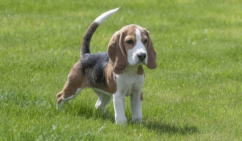 13 Interesting Beagle Facts You Shouldn't Miss