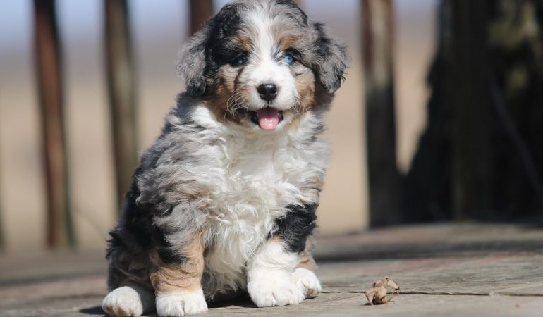 Bernedoodle Health Issues, Diagnosis, and Treatment