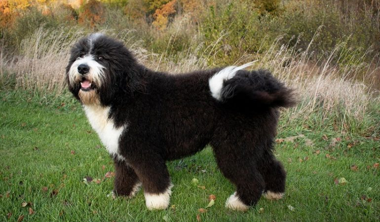 Bernedoodle as a Therapy and Service Dog   Pros and Cons