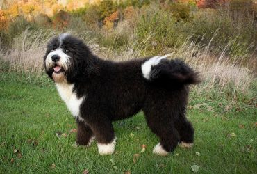Top 3 Bernedoodle breeders in Canada