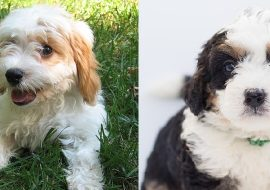 Bernedoodle vs Cavapoo – A Quick Comparison