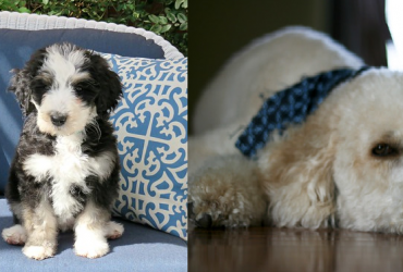 Bernedoodle vs Groodle – A Quick Comparison