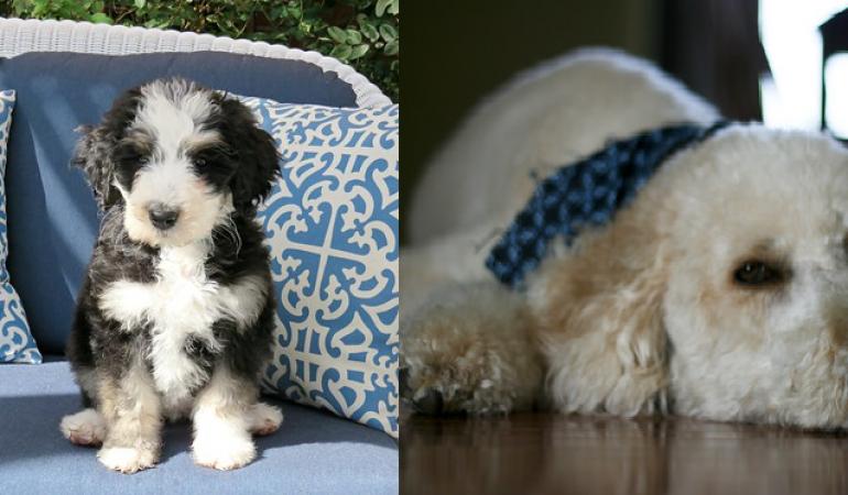 Bernedoodle vs Groodle – A Quick Comparison