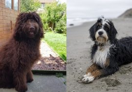 Bernedoodle vs Newfypoo – A Quick Comparison