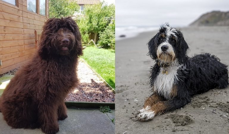Bernedoodle vs Newfypoo – A Quick Comparison
