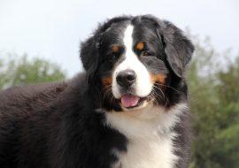 Bernese Mountain Dog Breed Info