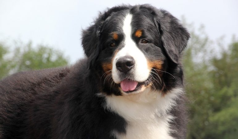 Bernese Mountain Dog Breed Info