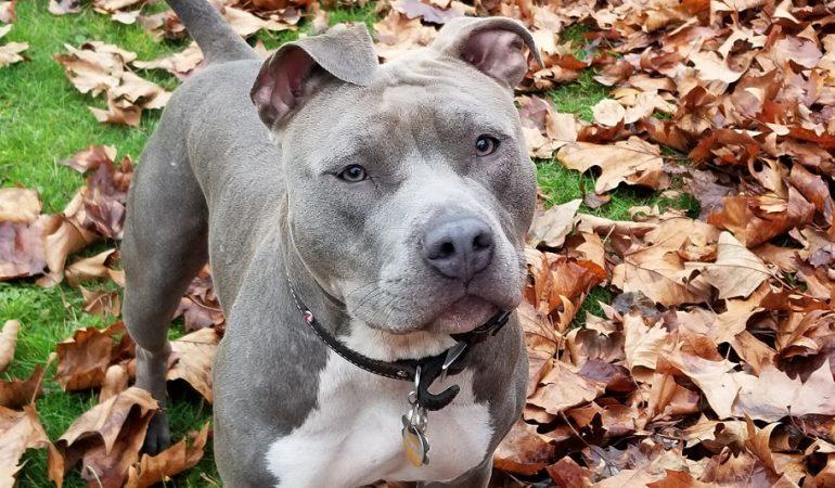 Blue Nose Pitbull Dog Breed Info