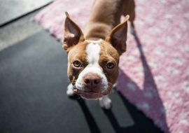 100+ Most Popular Boston Terrier Names for 2021