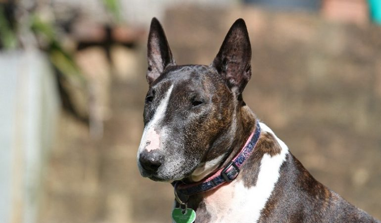 Bull Terrier Dog Breed Info – The Kid in a Dog Suit