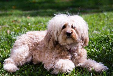 Cavoodle Dog Breed Info [ aka Cavapoo]