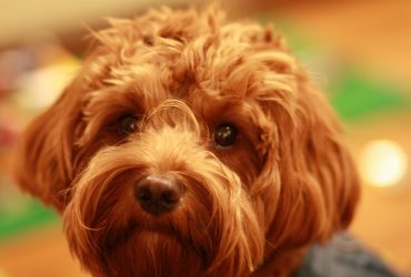 Cavoodle Pros and Cons – Things You Should Know