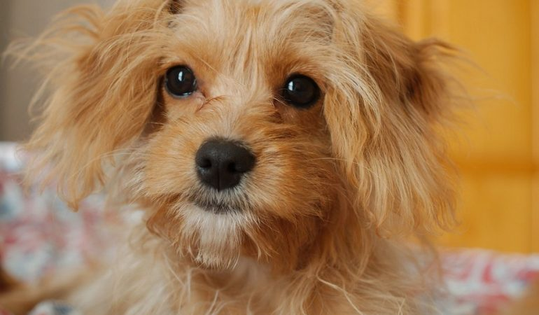 Cavoodle Health Related Issues