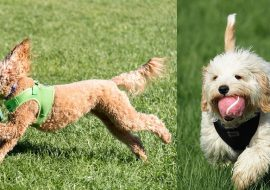 Cavoodle vs Groodle – A Quick Comparison