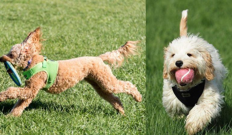 Cavoodle vs Groodle – A Quick Comparison