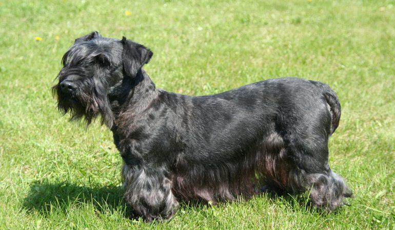 Top 4 Dog Breeds Originated in the Czech Republic