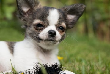 Chihuahua – Dog Breed Profile and Fun Facts