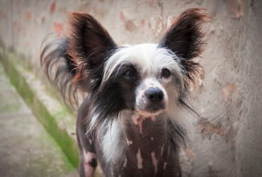 Top 10 Unique Chinese Dog Breeds