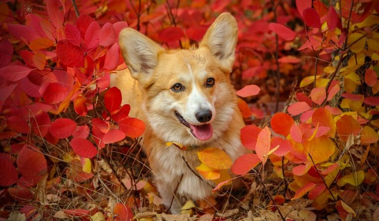 Corgi Pros and Cons – Everything you Need to Know