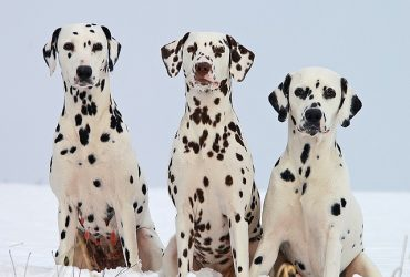 Dalmatian – Dog Breed of the Month March 2019