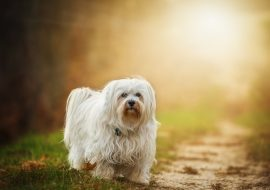 Havanese Dog Breed Info – The Perfect Lapdog