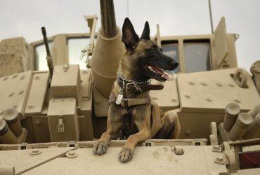 Belgian Shepherd – Dog Breed Profile and Fun Facts