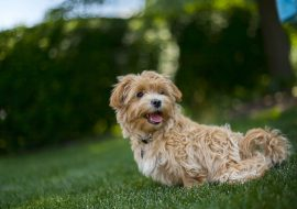 Moodle Dog Breed Info – One of the Top 3 Australian Dogs