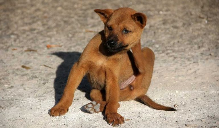 Does Coconut Oil Kill Fleas in Dogs?