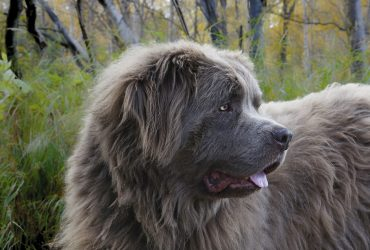 Newfoundland – Dog Breed of the Month July 2019