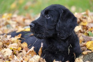 Labradoodle FAQs – Common Questions About the Breed