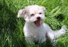 Russian Tsvetnaya Bolonka Dog Breed Info