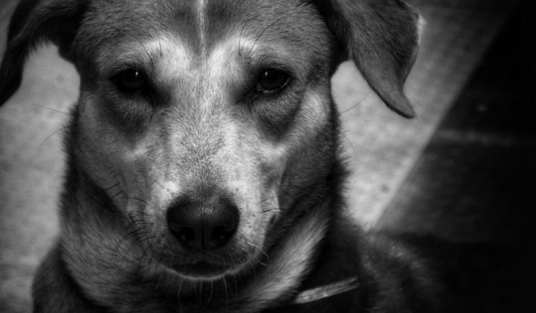 14 Indian Dog Breeds You Must Know About