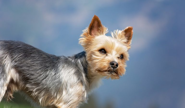 Yorkshire Terrier Dog Breed Info & Characteristics