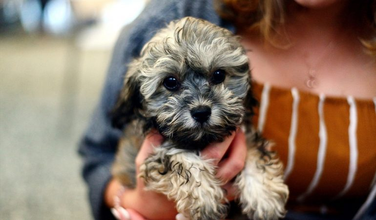 Shih Poo FAQs – 13 most asked questions about Shih Poos