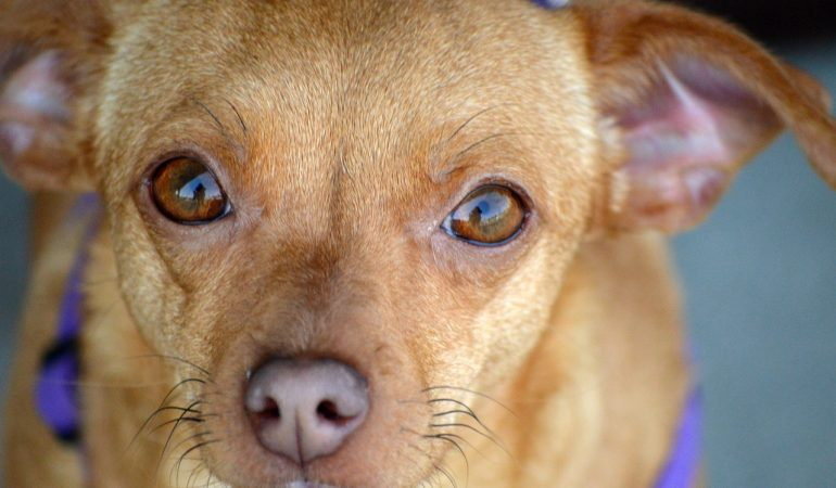 Chiweenie Dog Breed Info – The Perfect Mixture