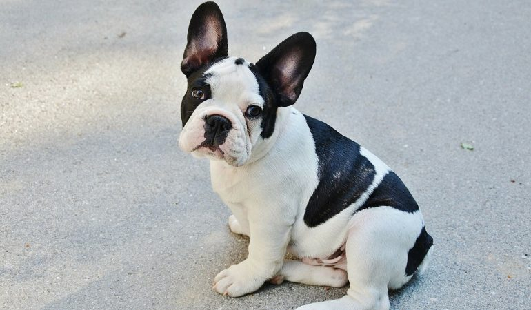 Crucial mistakes every Frenchie parent should avoid