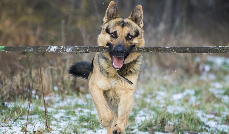 9 Things to Know Before Getting a German Shepherd