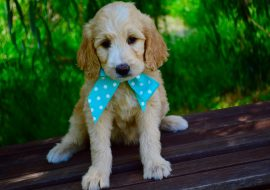 Groodle Dog Breed Info – A Detailed Guide about the Breed