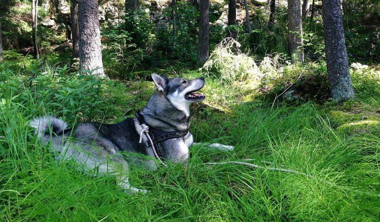 Swedish Elkhound Dog Breed Characteristics and Info