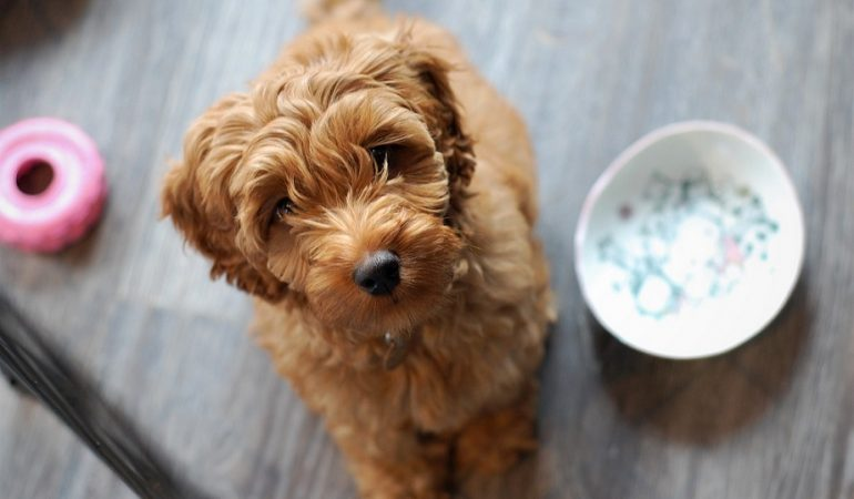 Labradoodle Dog Breed Info – A Comprehensive Guide