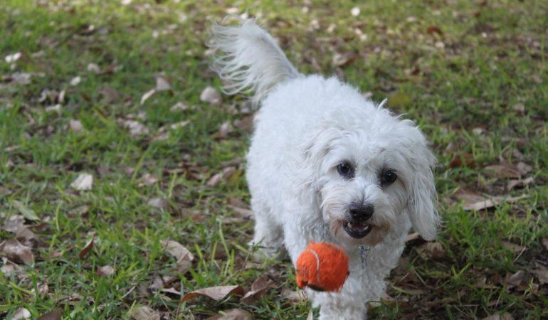 Best Moodle Breeders in Australia – [Top 3 Picks]
