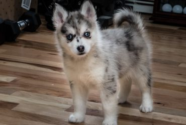Pomsky Dog Breed Info – A Comprehensive Guide