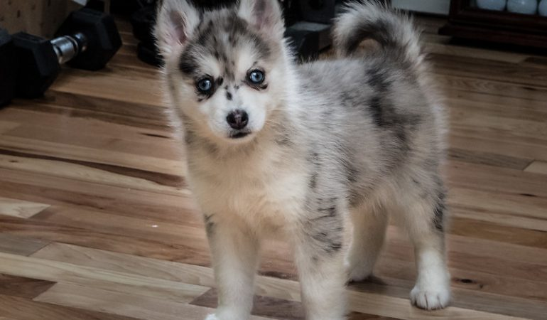 Pomsky Health-related Issues and Genetic Diseases