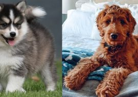 Pomsky vs Irish Doodle – A Quick Comparison
