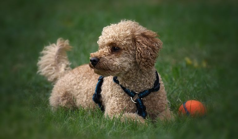 An Exclusive List of All the Poodle Crosses (100+)