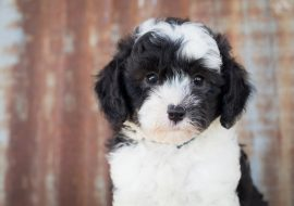 All About Sheepadoodle – Breed Characteristics and Features