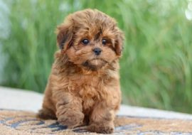 Shih Poo Health Issues You Must Know About