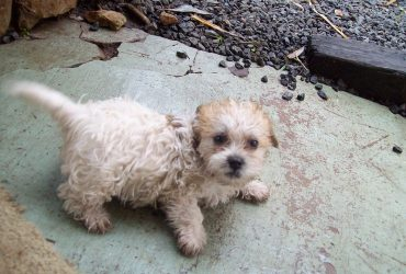 Best Shih Poo Breeders Around the World