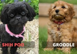 Shih Poo vs Groodle – A Quick Comparison